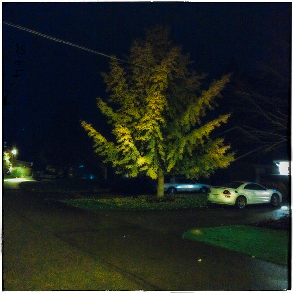 golden gingko on 11th Avenue