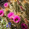 Strawberry hedgehog cactus in bloom
