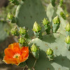 Cactus apple (a/k/a Engelmann's prickly pear)