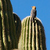 Gila woodpecker perched on a saguaro