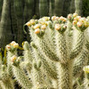 Teddy bear cholla in Tucson Mountain Park, just adjacent to the Falcon Ridge neighborhood. Photo by Elaine McDonald.