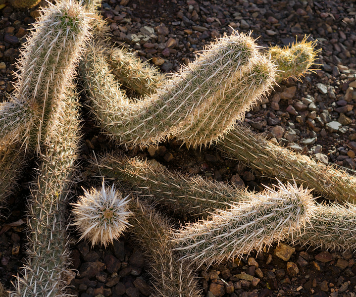 Creeping devil cactus