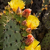Prickly pear cactus in bloom in Tucson Mountain Park, just adjacent to the Falcon Ridge neighborhood. Photo by Elaine McDonald.