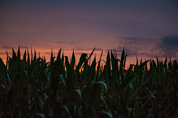Late Corn