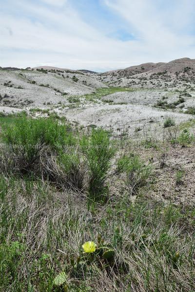 Badlands Natl Pk, Prickly Pear