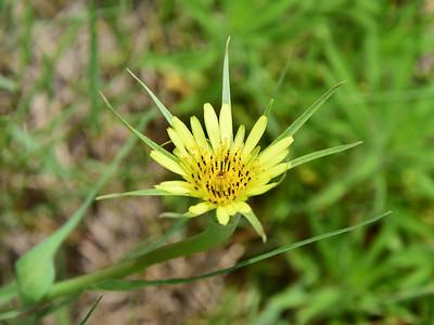 Badlands Natl Pk, Salsify, Tragopogon dubius