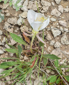 Badlands NP, Loop Road, Tufted Evening Primrose, Oenothera caespitosa