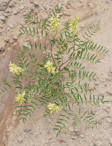 Badlands Natl Pk, Creamy Poisonvetch, Astragalus racemosus