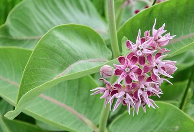 Badlands Natl Pk, Showy Milkweed, Asclepias speciosa