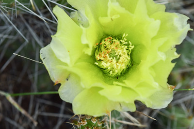 Badlands Natl Pk, Plains Prickly Pear, Opuntia polycantha