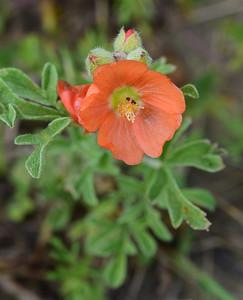 Badlands Natl Pk, Scarlet Globemallow, Sphaeraicea coccinea