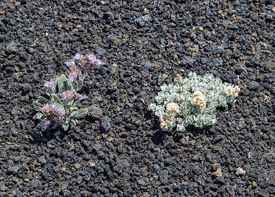 Craters of the Moon Natl Mon, Silverleaf Phacelia, Cushion Buckwheat