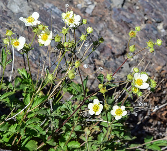 Craters of the Moon Natl Mon, Sticky Cinquefoil