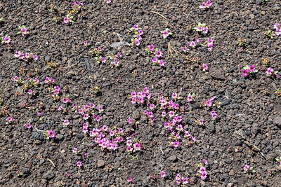 Craters of the Moon Natl Mon, Dwarf Monkeyflower