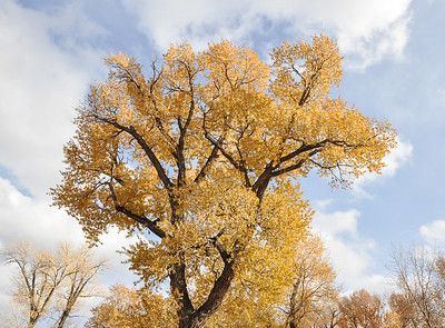 Fall color, Cottonwoods