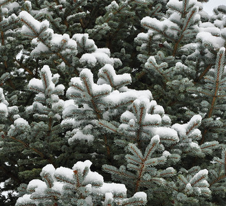 Spruce Tree with snow