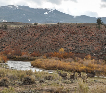 , Wind River, White Tailed Deer