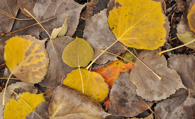 Fall color, Cottonwood Leaves