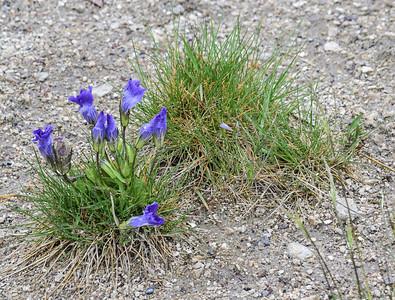 Yellowstone Natl Pk, Fringed Gentian, Gentianela detonsa