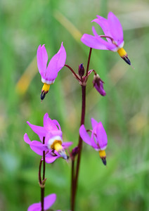 Yellowstone Natl Pk, Slimpod Shooting Star, Dodecatheon conjugens