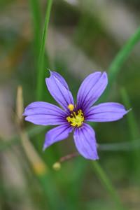 Yellowstone Natl Pk, Idaho Blue eyed Grass, Sisyrinchium idahoense