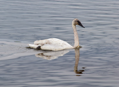 Cygnus Buccinator, Trumpeter Swans, Yellowstone Natl Park