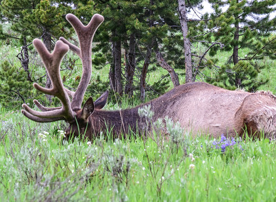 Cervus elaphus, Elk, Yellowstone Natl Park