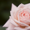Rose in Pale Pink