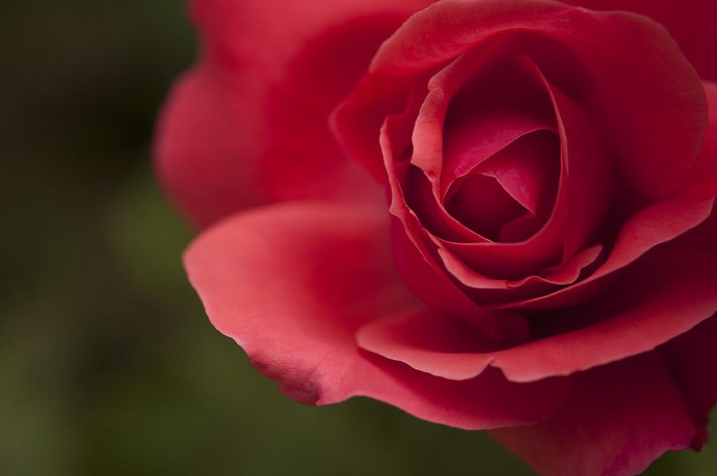 Rose in Deep Pink