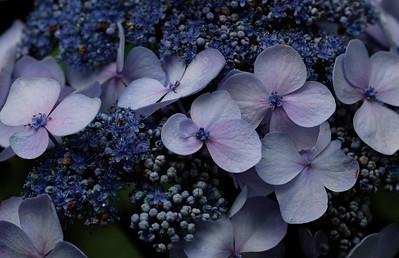 Hydrangea in Deep Blue