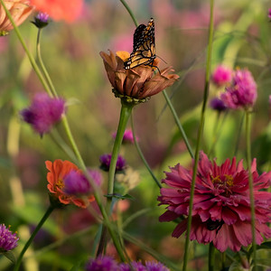 Zinnia With Monarch Butterfly