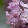 Lilacs in Soft Purple
