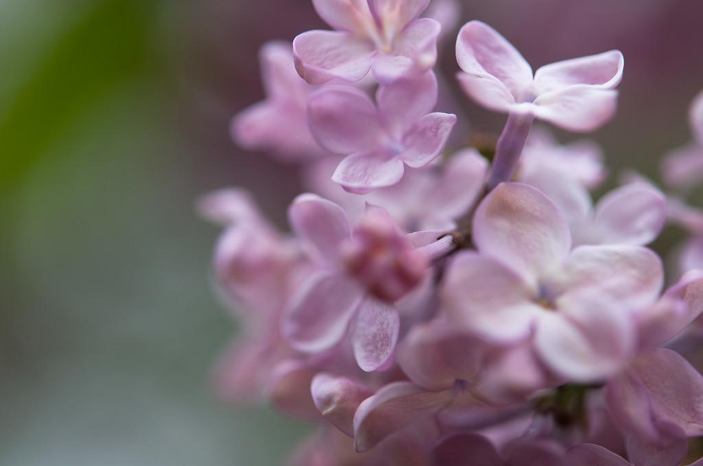 Lilacs in Soft Purple