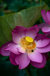 Lotus Blossom in Pink With Insect