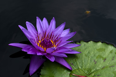 Water Lily in Purple and Yellow
