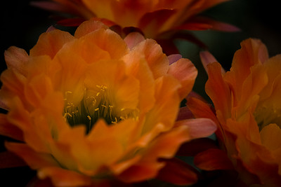 Cactus Blossom in Orange