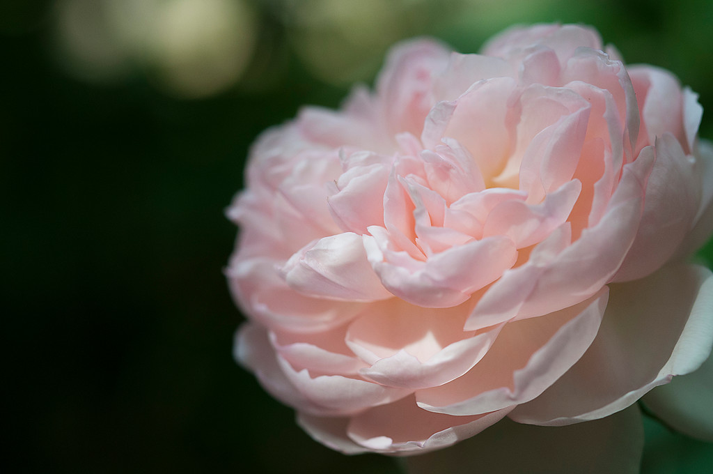 Peony in Pale Pink