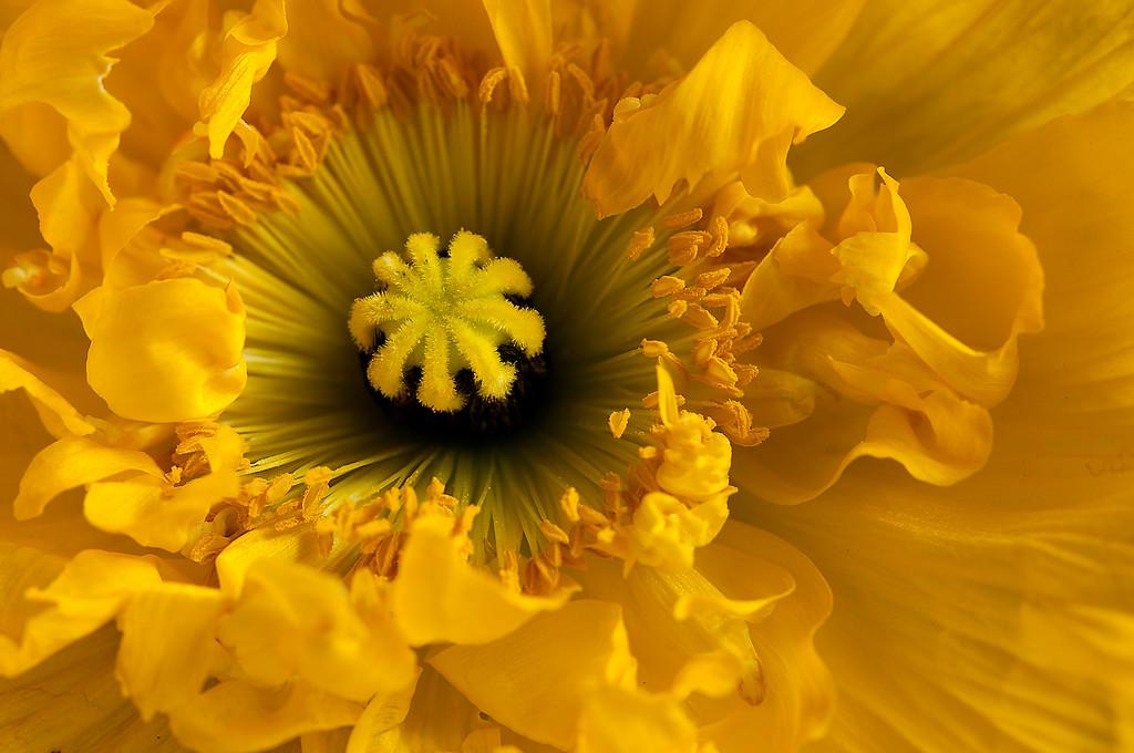 Icelandic Poppy in Yellow