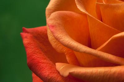 Vibrant Orange Rose