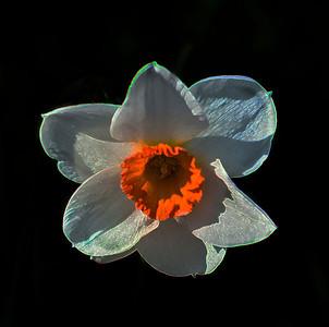 Psychedelic Daffodil
