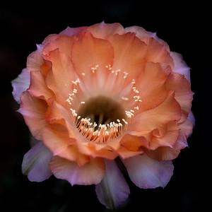 Glowing cactus bloom