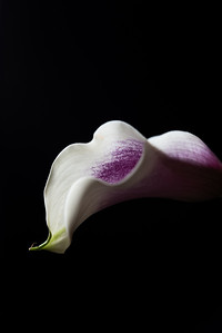 Calla Lily in Purple and White