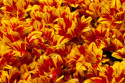 Monsella Tulips