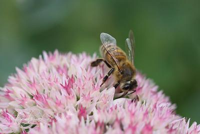 Flower Fly