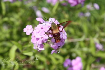 Hummingbird Moths