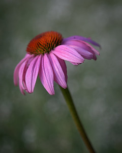Purple Coneflower with Dew Drops