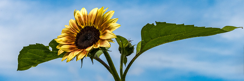 Sunflower and Leaves