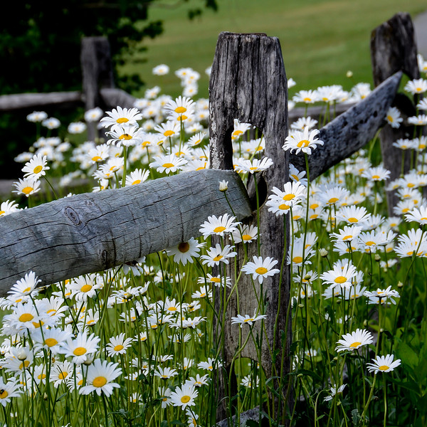 Summer Daisiies - square