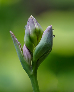 Hosta and Dew Drops