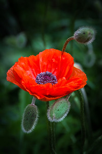 Red Poppy - square